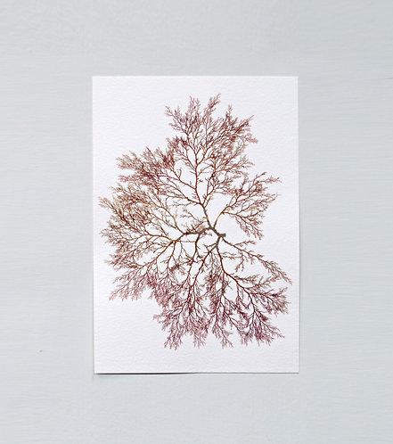 Pressed Seaweed, Single 19. A5.