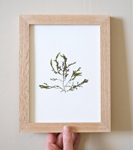 Pressed Seaweed, Single 4. Unframed.