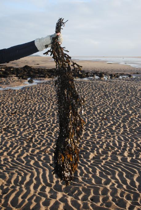 Seaweed Dye