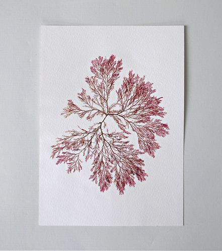 Pressed Seaweed, Single 13. A4.