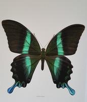 green swallowtail