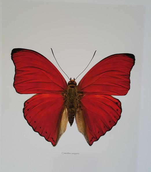 Cymothoe sangaris