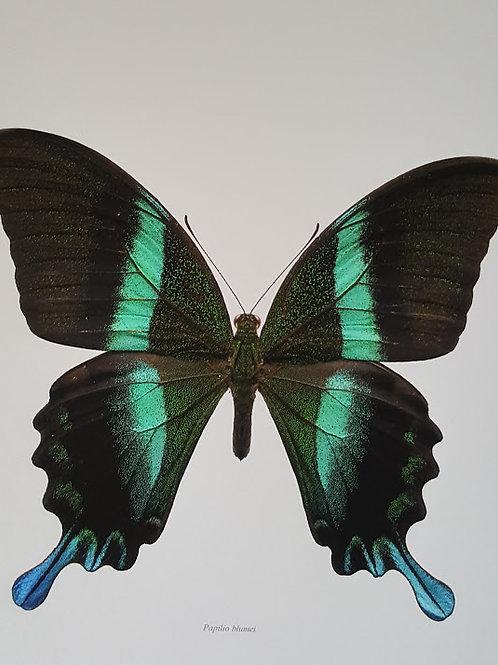 green swallowtail / Göran Liljeberg