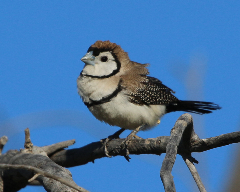 Doubled-barred finch
