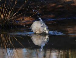 White-faced heron fishing