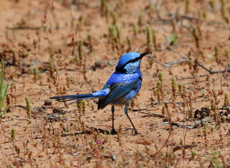 Male splendid fairy-wren