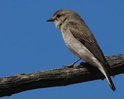 Female hooded robin