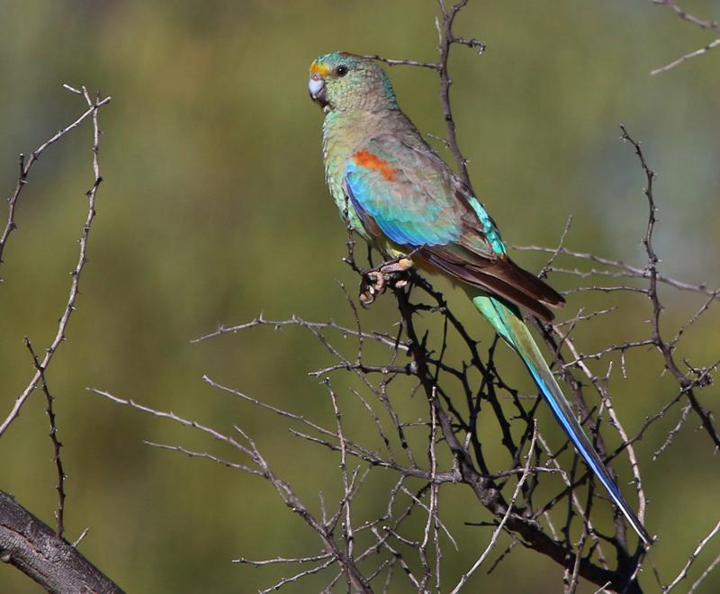 Female mulga parrot