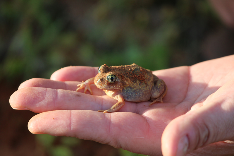 Painted burrowing frog