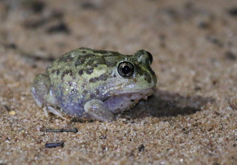 Ornate burrowing frog