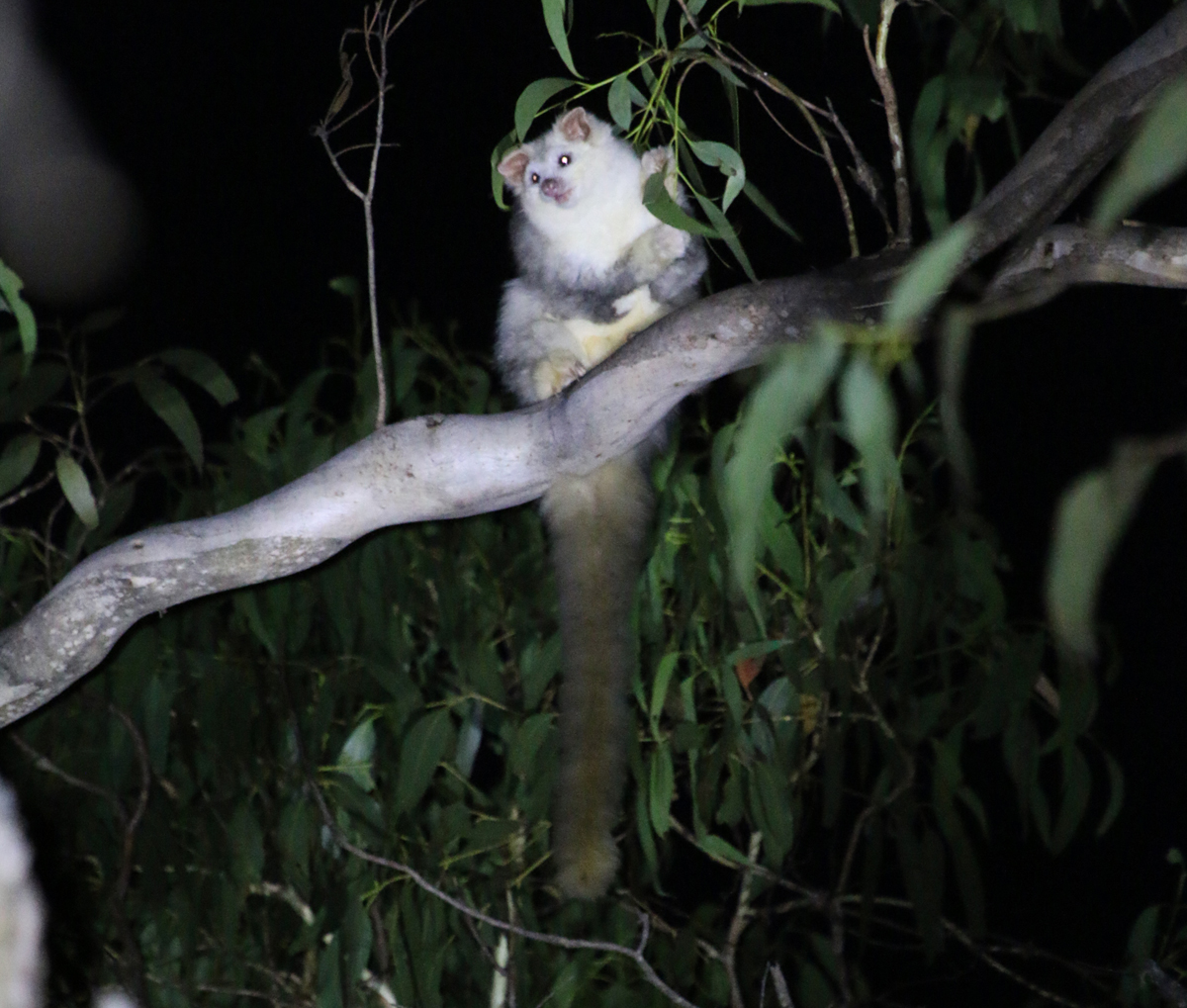 White greater glider