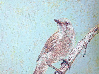 "When unexpected things happen - ""Shrike-thrush"""