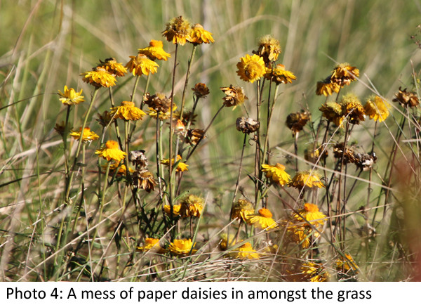 Paper daisies photo Laura Grogan 600 2.jpg