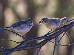 Southern whitefaces (feeding young)