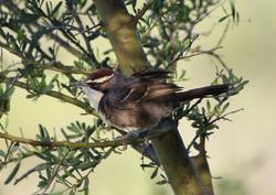 Chestnut-crowned babbler