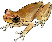 Litoria rheocola 03c final hi res.png
