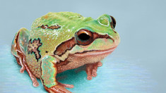 """How to create skin textures with pastel - """"Alpine tree frog"""" WIP 1-12"""