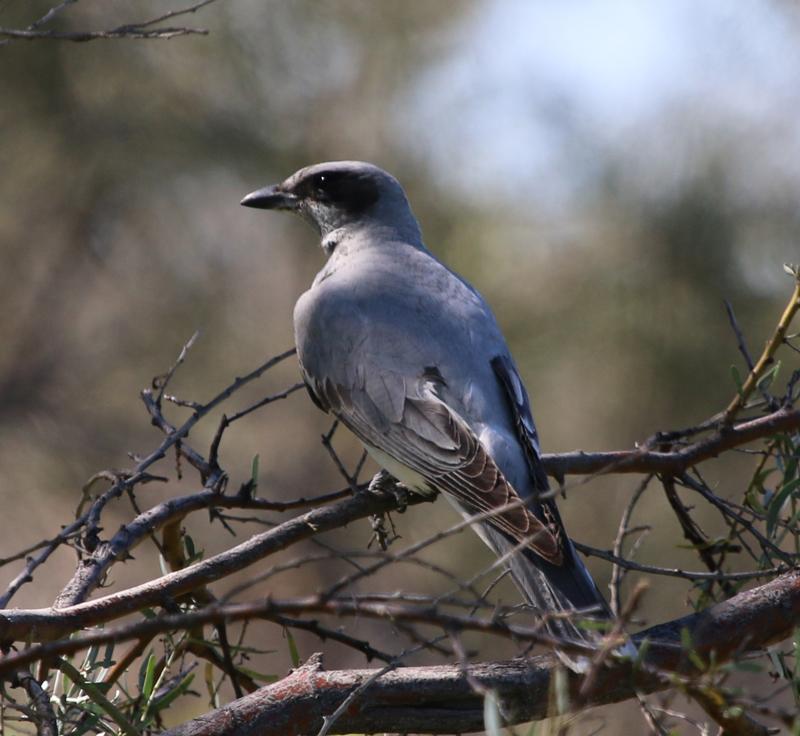 Juvenile black-faced cuckoo-shrike