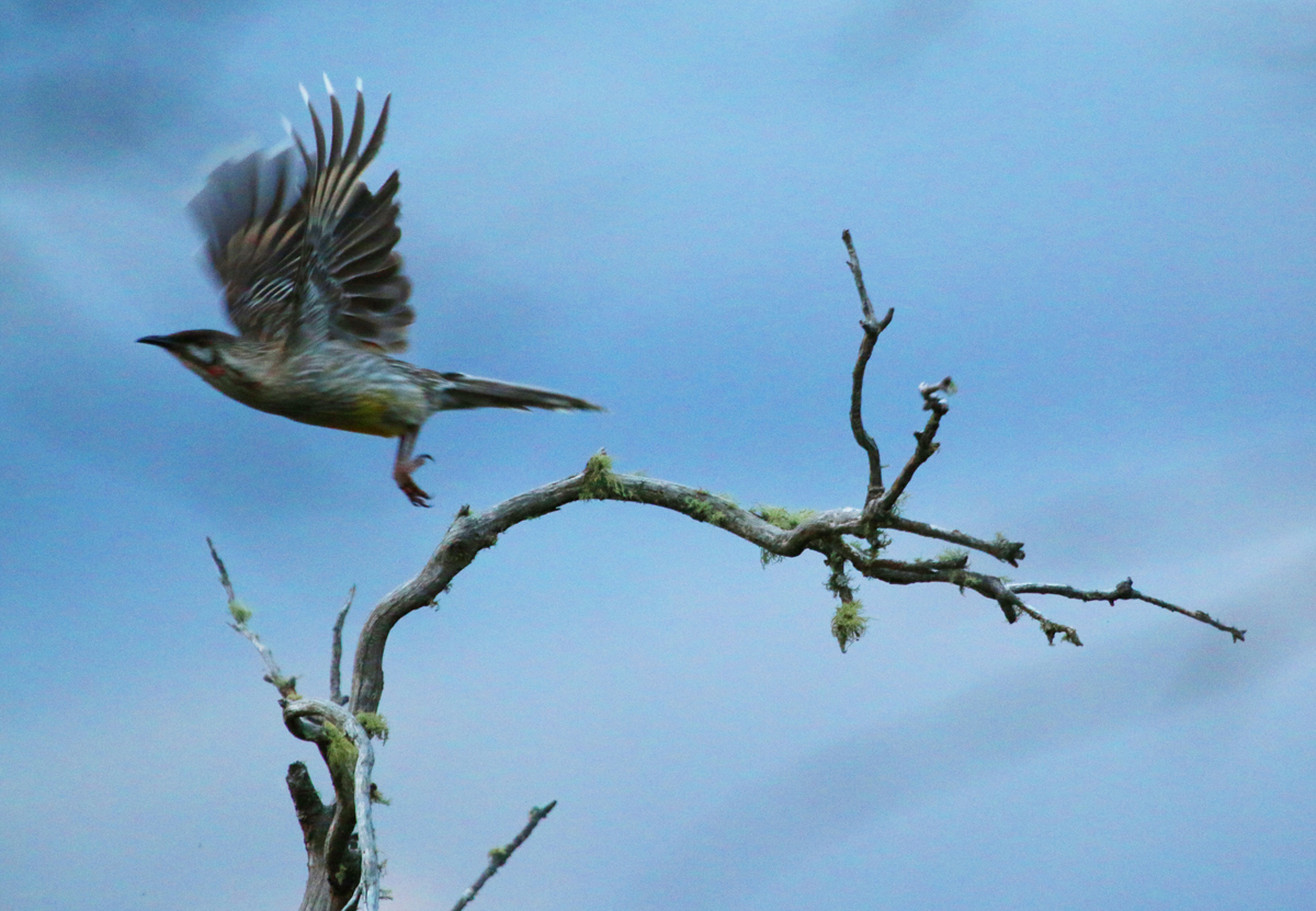 Red wattlebird in flight