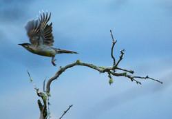 Red wattlebird in flight
