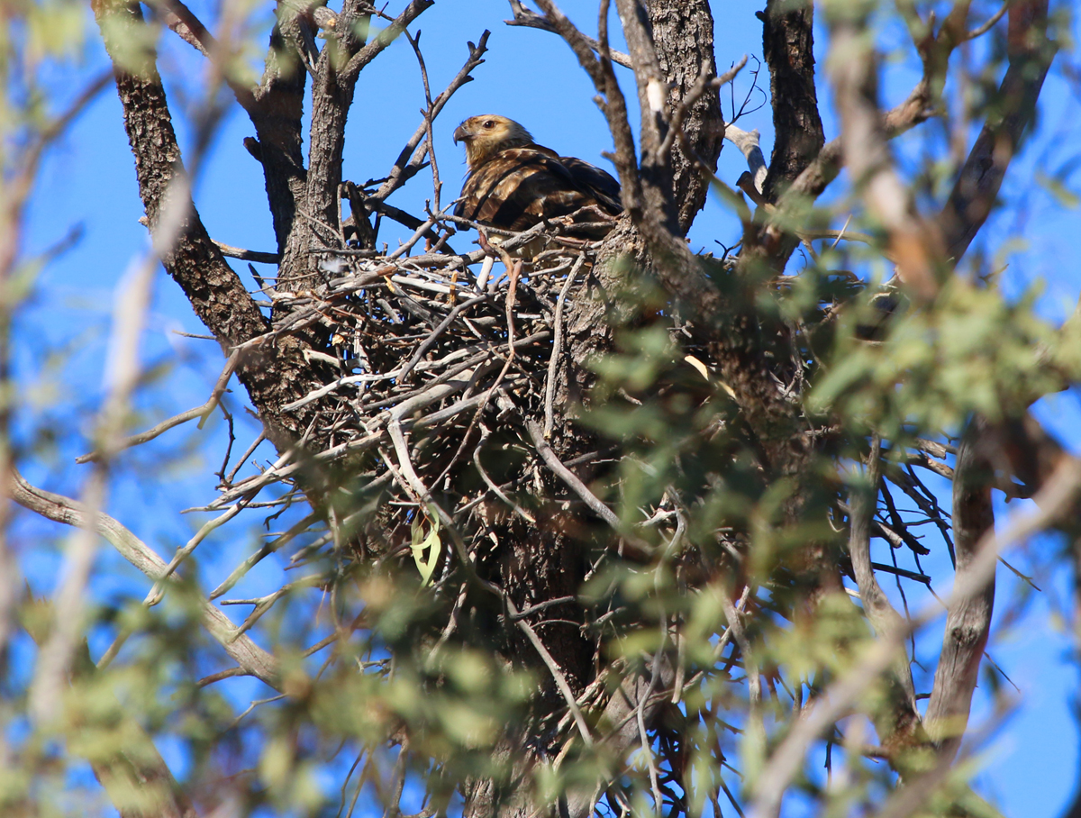 Whistling kite on nest