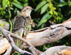 Horsfield's bronze cuckoo preening