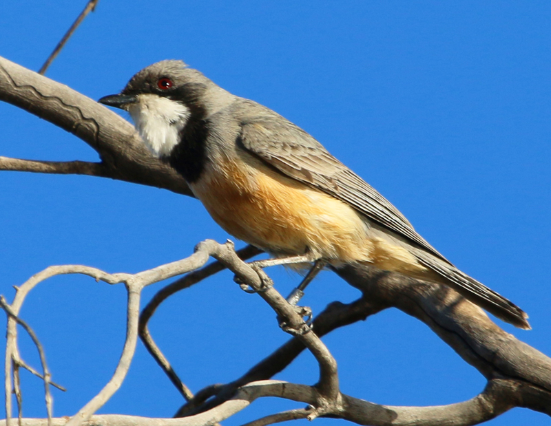 Male rufous whistler