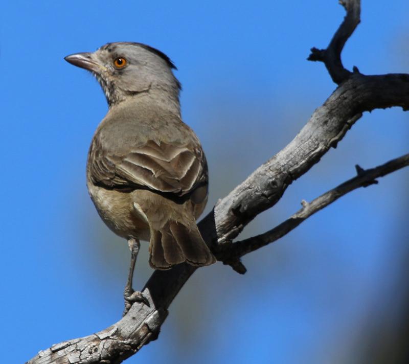 Male crested bellbird