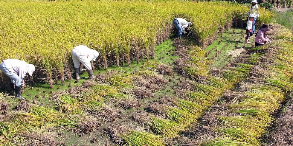 稲刈り体験2019