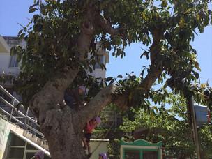 園庭のゴムの木とともに…