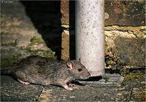 Exterminateur Rat Trois-Rivières