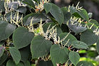 knotweed-no attribution.jpg
