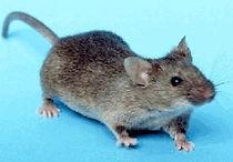 Exterminateur souris Trois-Rivières