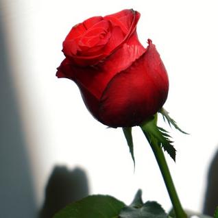 Roses in the Sunlight
