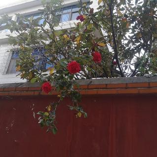 三只红杏出墙来