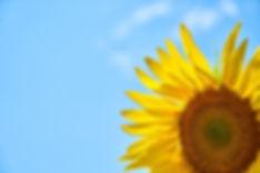 sunflower-3616249.jpg