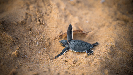 A sweet look at hatchling turtles emerging from their nest