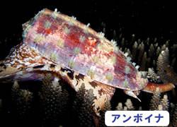海の危険生物 | アンボイナ