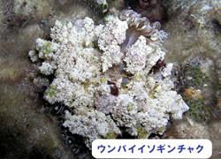 海の危険生物 | ウンバイイソギンチャク