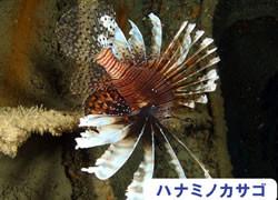 海の危険生物 | ハナミノカサゴ