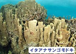海の危険生物 | イタアナサンゴモドキ