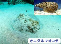海の危険生物 | オニダルマオコゼ