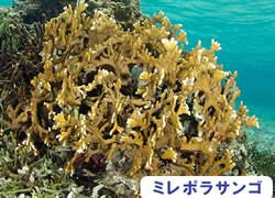 海の危険生物 | ミレポラサンゴ