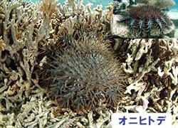 海の危険生物 | オニヒトデ