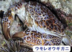 海の危険生物 | ウモレオウギガニ