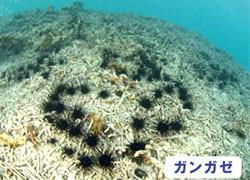 海の危険生物 | ガンガゼ