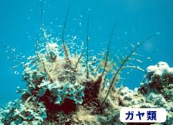 海の危険生物 | ガヤ類