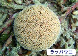 海の危険生物 | ラッパウニ