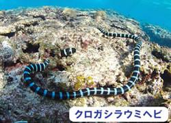 海の危険生物 | クロガシラウミヘビ