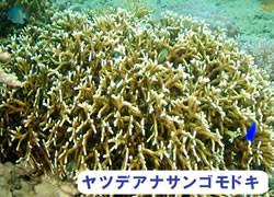 海の危険生物 | ヤツデアナサンゴモドキ